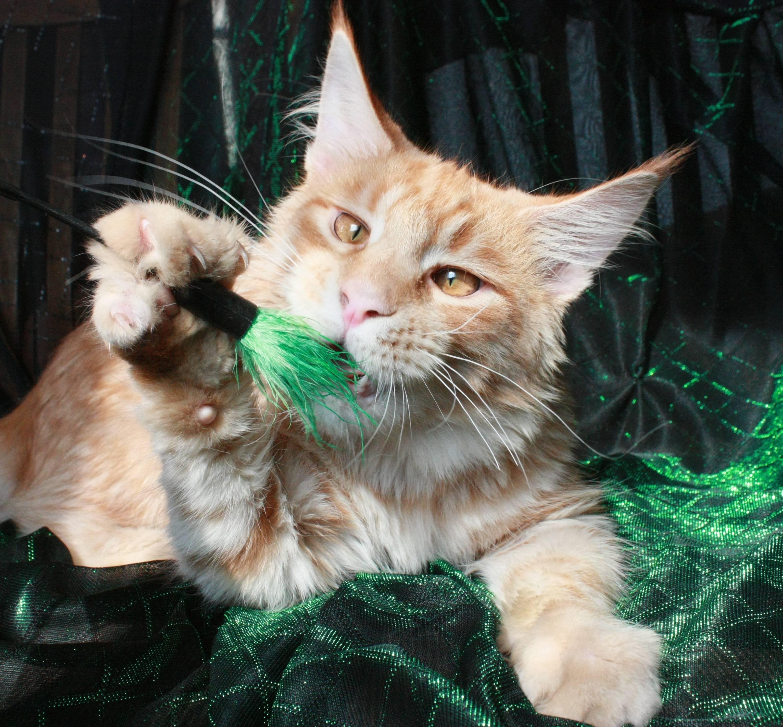 Как правильно кормить мейн-куна: рацион питания для большой кошки