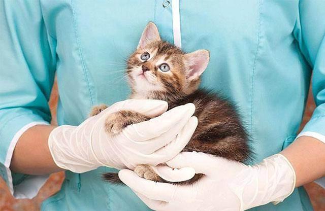 Прививка котенку от чумки