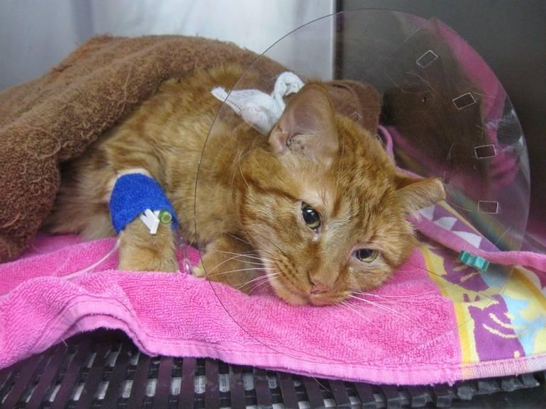 Почечная недостаточность у кошек: симптомы, лечение, диета почечная недостаточность у кошек: симптомы, лечение, диета