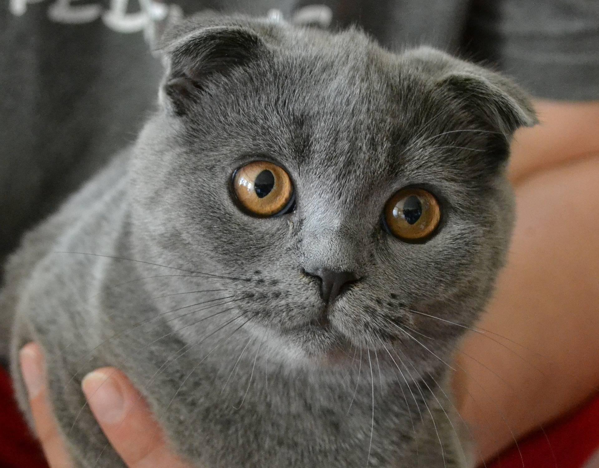 Британские вислоухие кошки