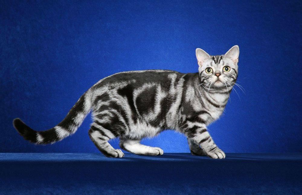 Окрас британских кошек и котов: описание по видам, фото