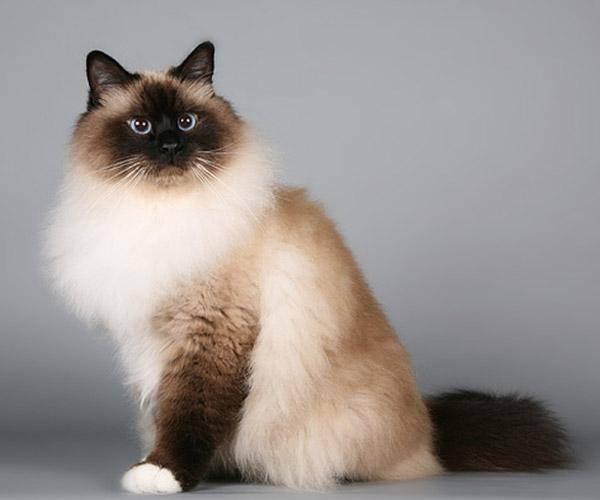 Полудлинношерстные кошки   все породы среднешерстных котов с фото и названиями