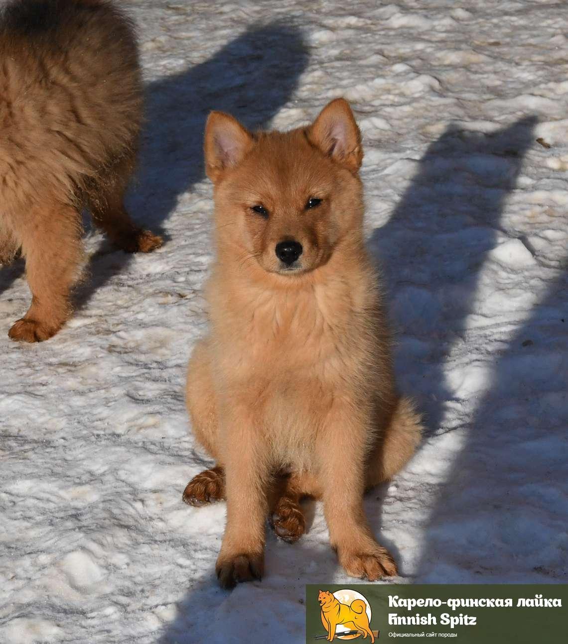 Карело-финская лайка: описание породы