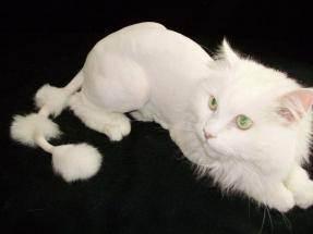 Нужно ли стричь кошку?