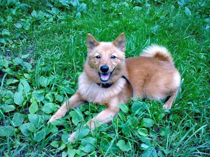 Карело-финская лайка, или финский шпиц – преданный друг и отличный охотник