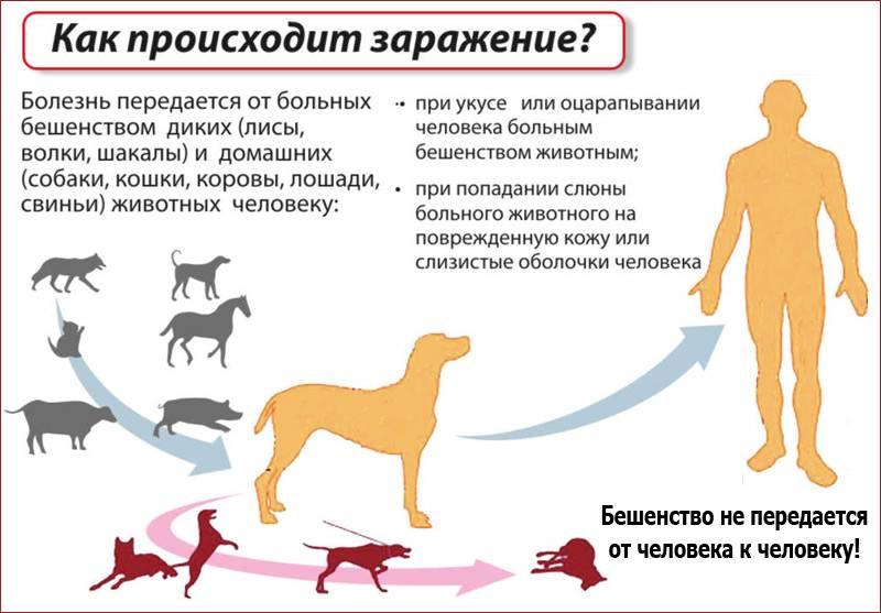 Опасные болезни кошек, которые могут передаваться человеку - лечение, профилактика