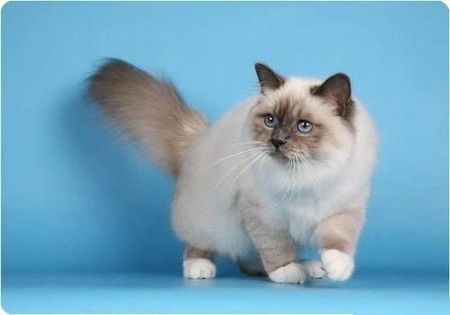 Бирманская кошка: фото, описание, характер, содержание
