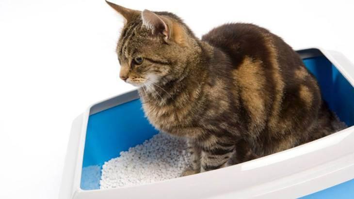 Цистит у кошек: как не допустить возникновения болезни и что делать при обнаружении