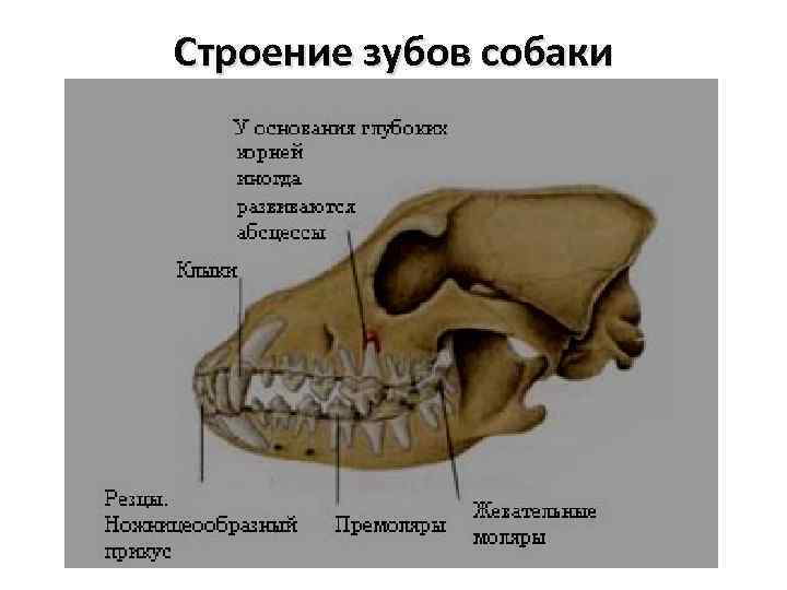 Сколько зубов у взрослой кошки или схема строения челюсти у кошек