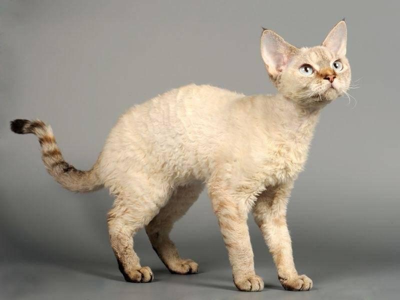 Гипоаллергенные породы кошек, названия и фото