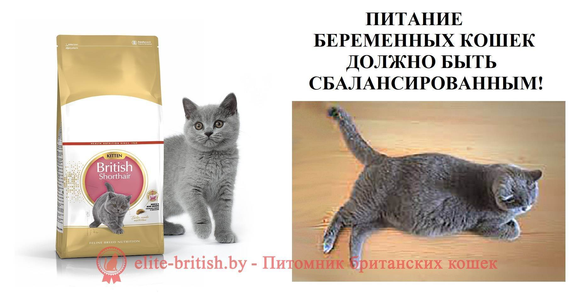 Как протекает беременность британских короткошерстных кошек