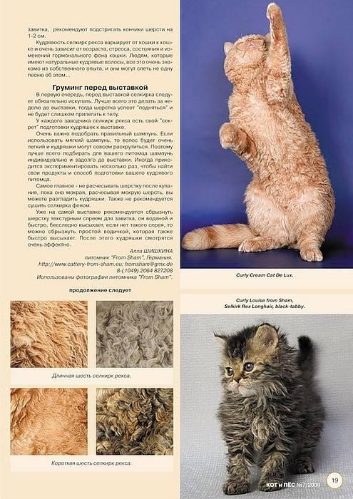 Селкирк-рекс—кошка в овечьей шкурке
