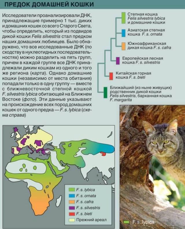 Барханный кот: внешний вид с фото, характер, образ жизни и питание, содержание в домашних условиях