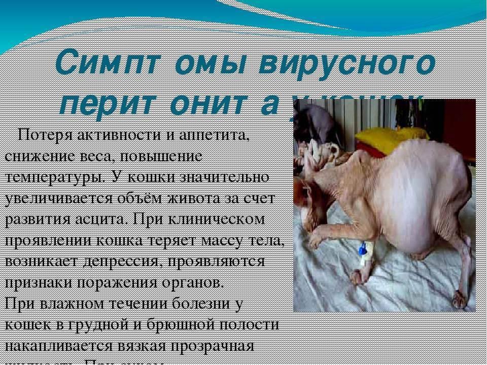 Инфекционный перитонит у кошек — симптомы и лечение