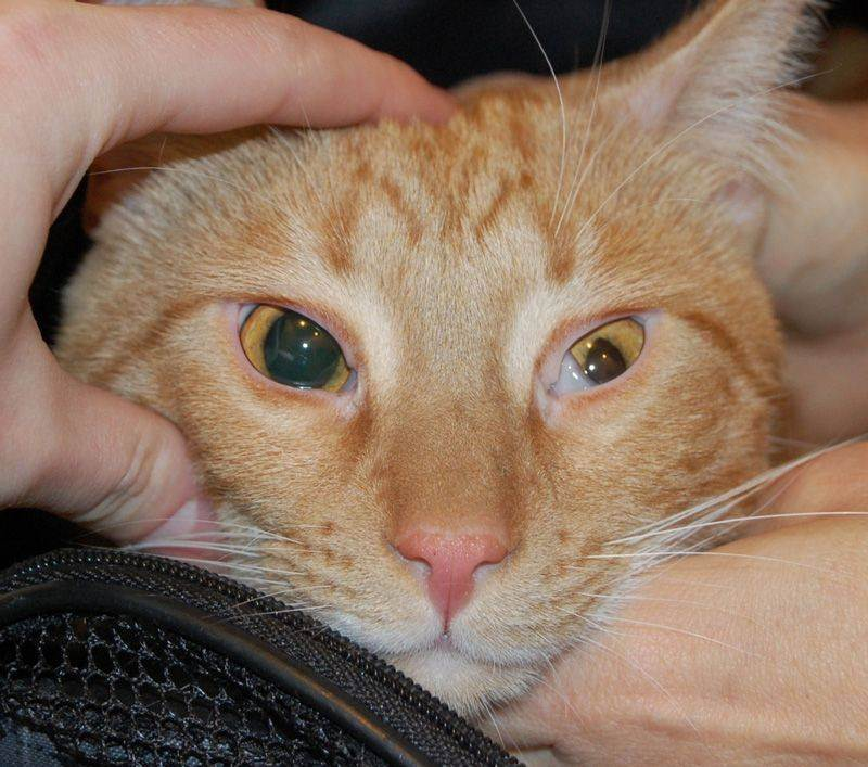 Почему у кошек бывает пленка на глазах, и когда это нужно лечить