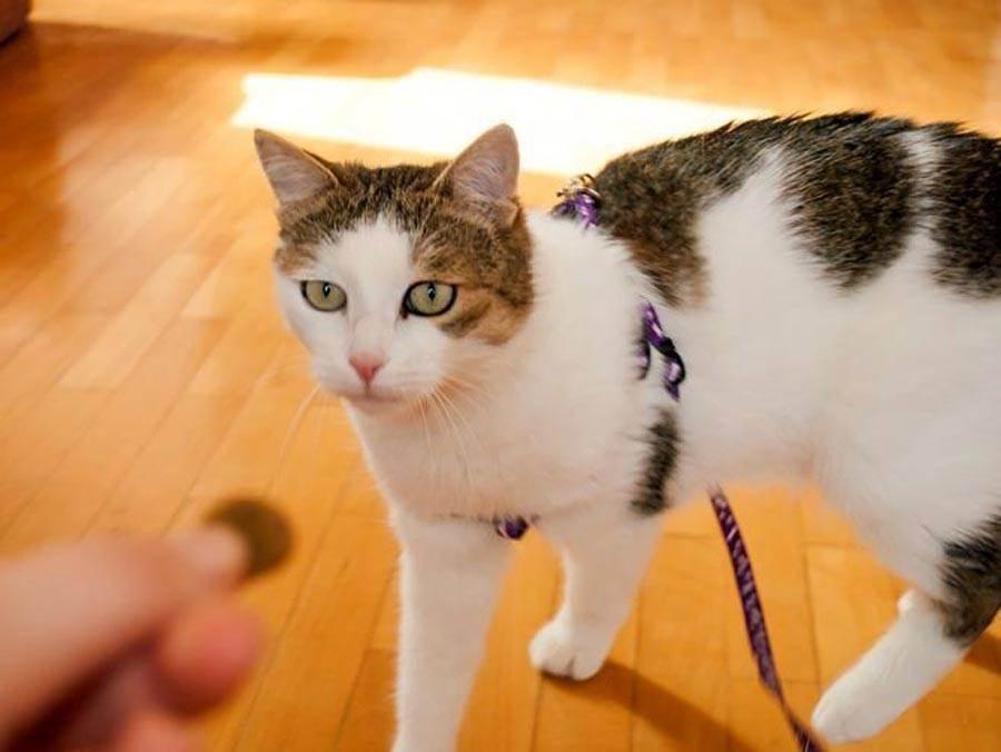 Как выгуливать кота на шлейке в городских условиях