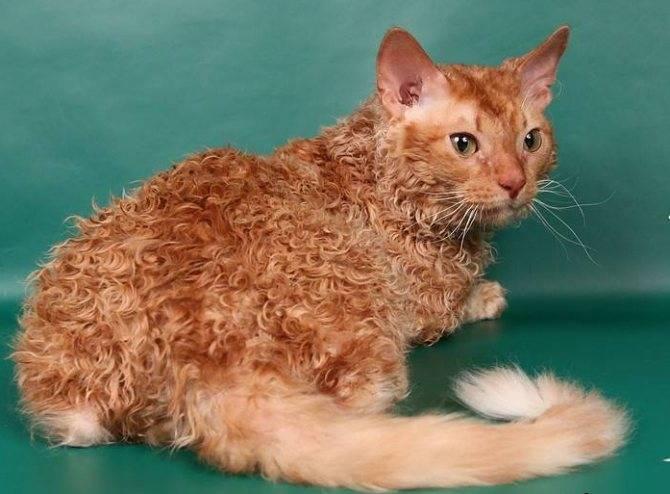 Селкирк рекс: описание породы, характер кошки, советы по содержанию и уходу, фото