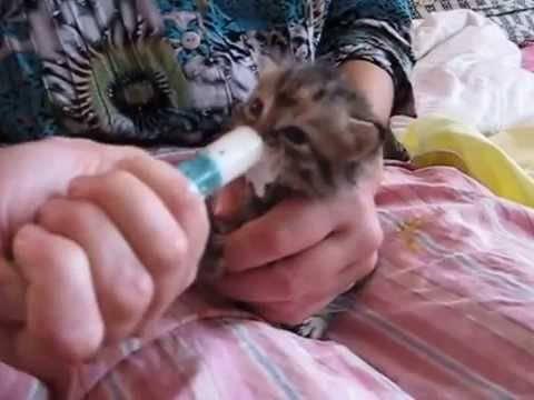 Как кормить кота (кошку) из шприца