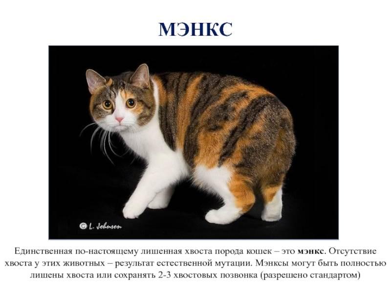 Мэнкс или мэнская кошка: историческая справка