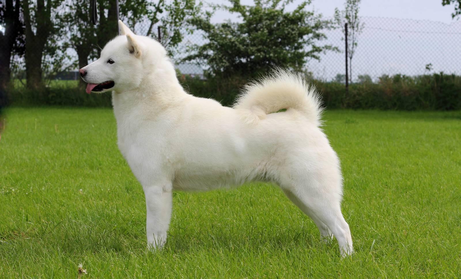 Японская акита-ину: характеристика и стандарт породы, фото белой, черной и других