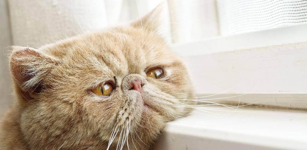 Чумка у кошек: симптомы, лечение в домашних условиях, как выжить