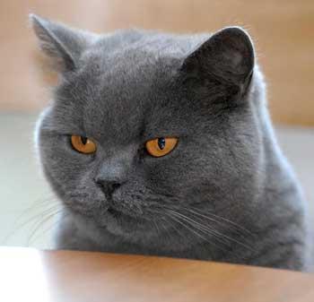 Британские кошки: как правильные домашние условия и правильный уход влияют на продолжительность жизни