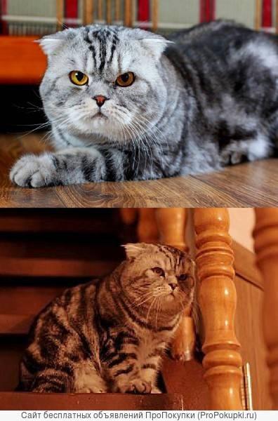 Шотландская вислоухая кошка — плюсы и минусы породы   плюсы и минусы