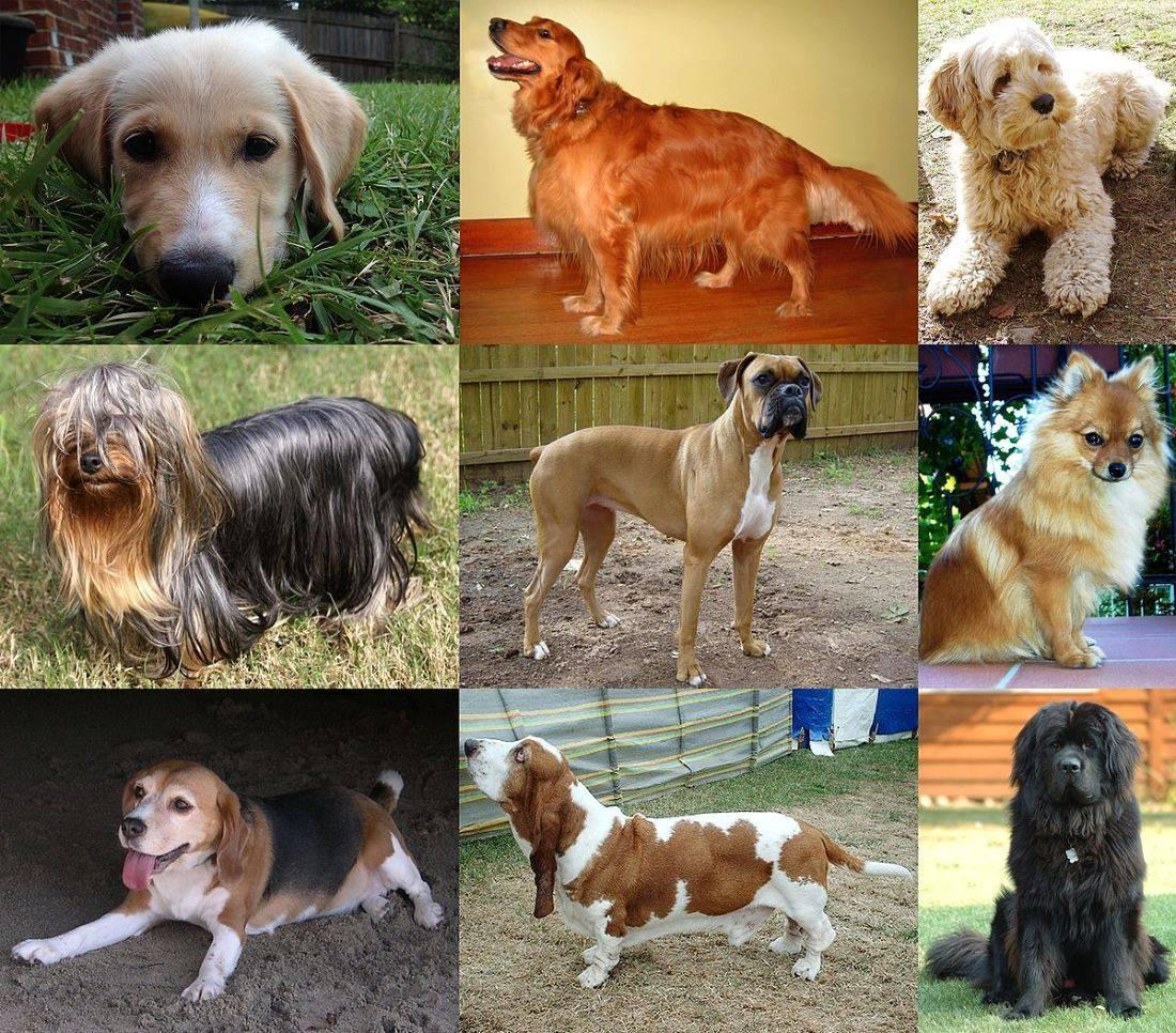 Породы собак средних размеров с фото