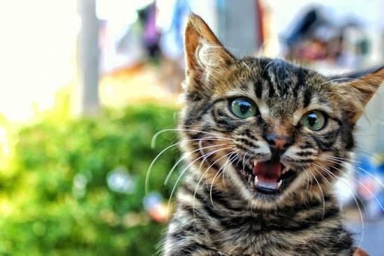 Переводчик с кошачьего на человеческий: как научиться понимать язык кошки и говорить с ней?
