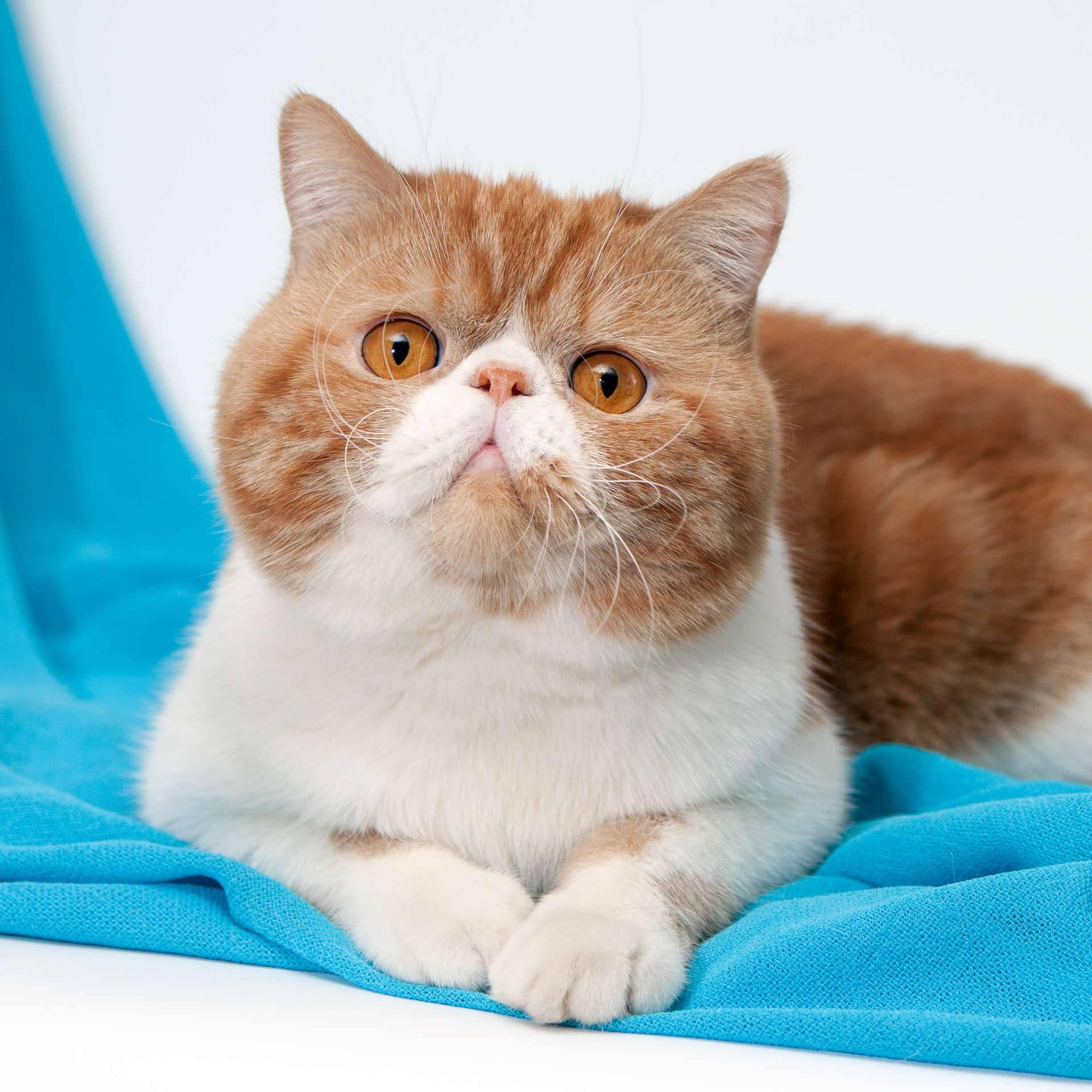 Экзотическая кошка: описание породы, характер, советы по содержанию и уходу, фото экзотов