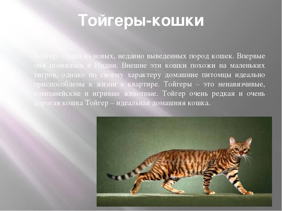 Тойгер кошки (фото): добродушный нрав в диком окрасе - kot-pes
