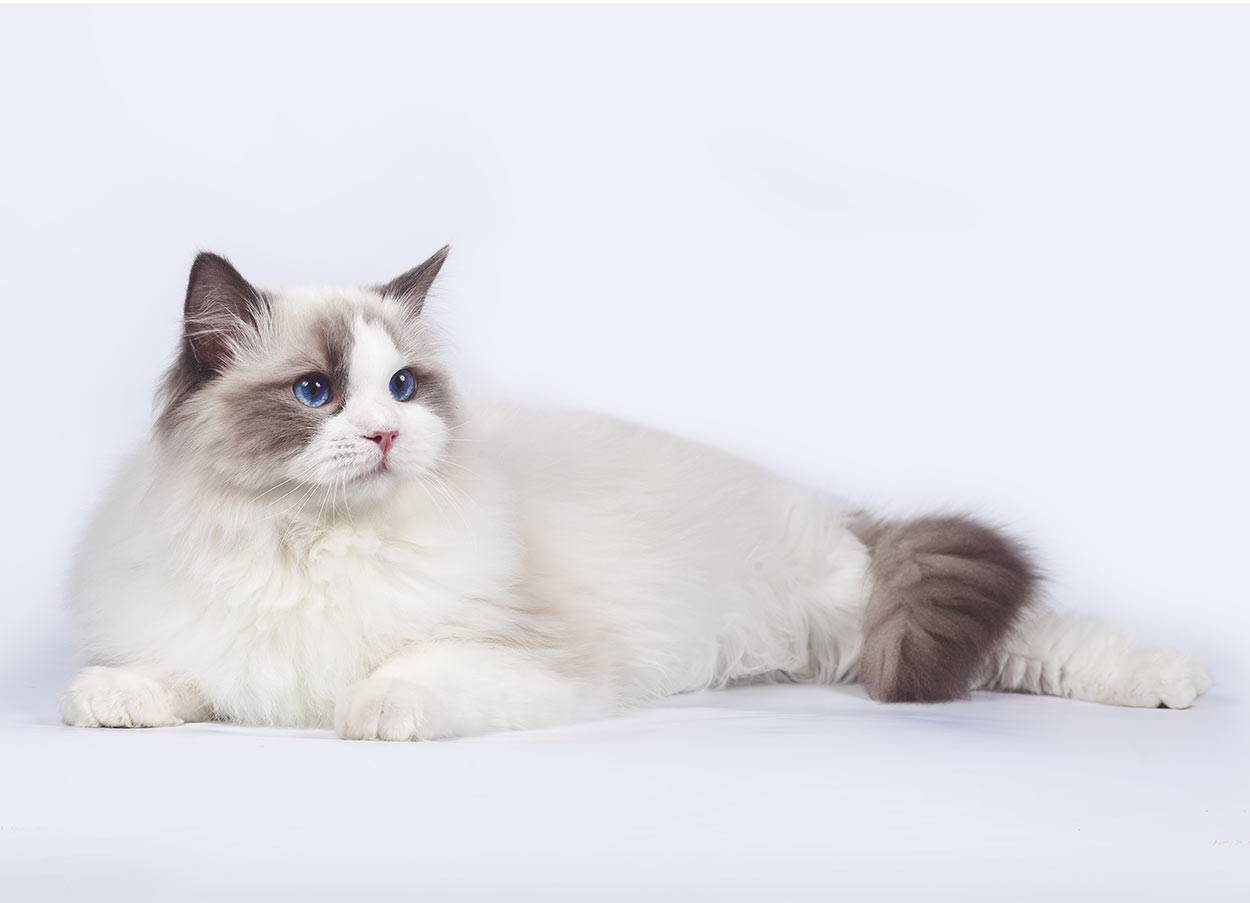 Рэгдолл кошка: описание породы и характера, особенности ухода, содержания, кормления