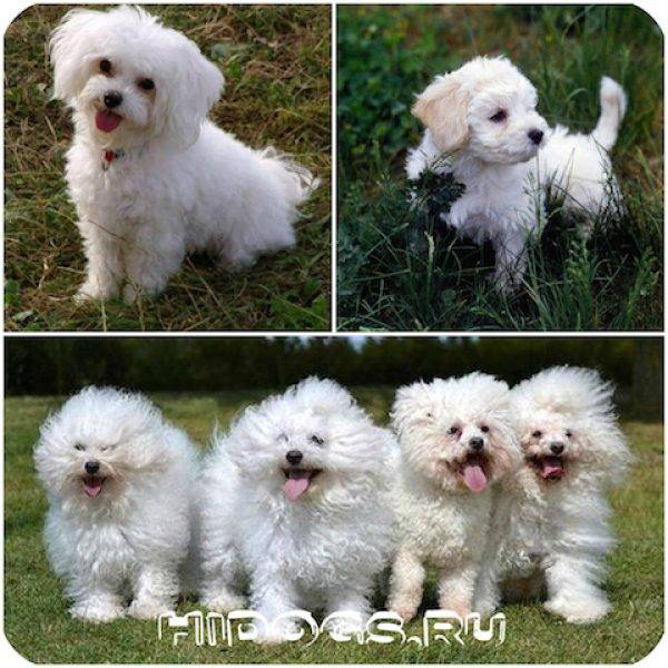 Болоньез собака, уход и содержание итальянской породы
