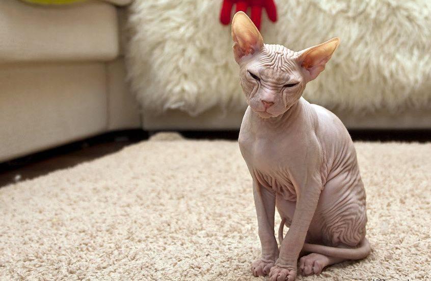 Миф или реальность от сфинксов: есть ли аллергия на лысых кошек