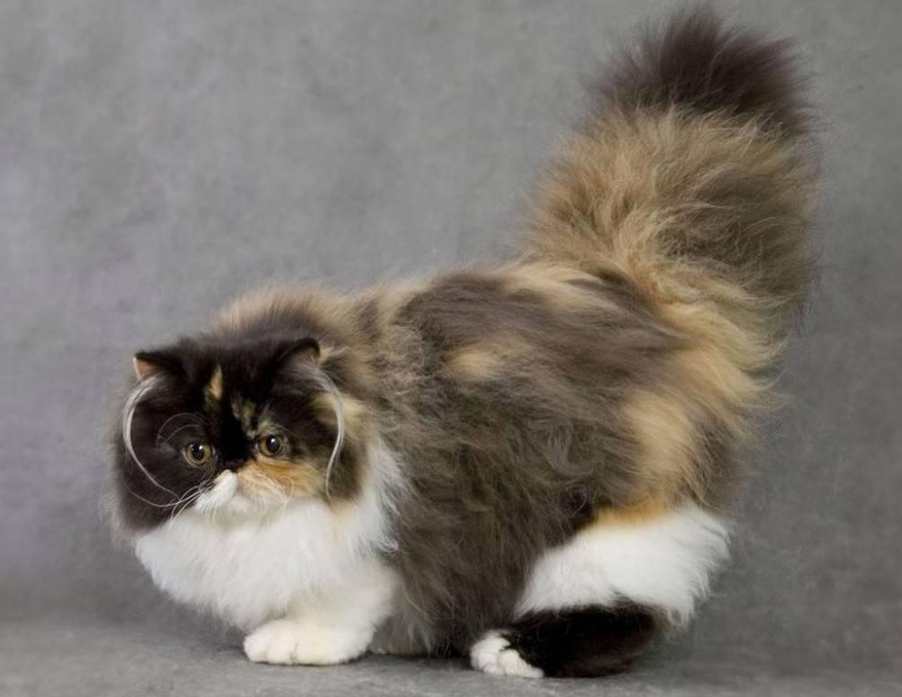 Персидская кошка сколько живет