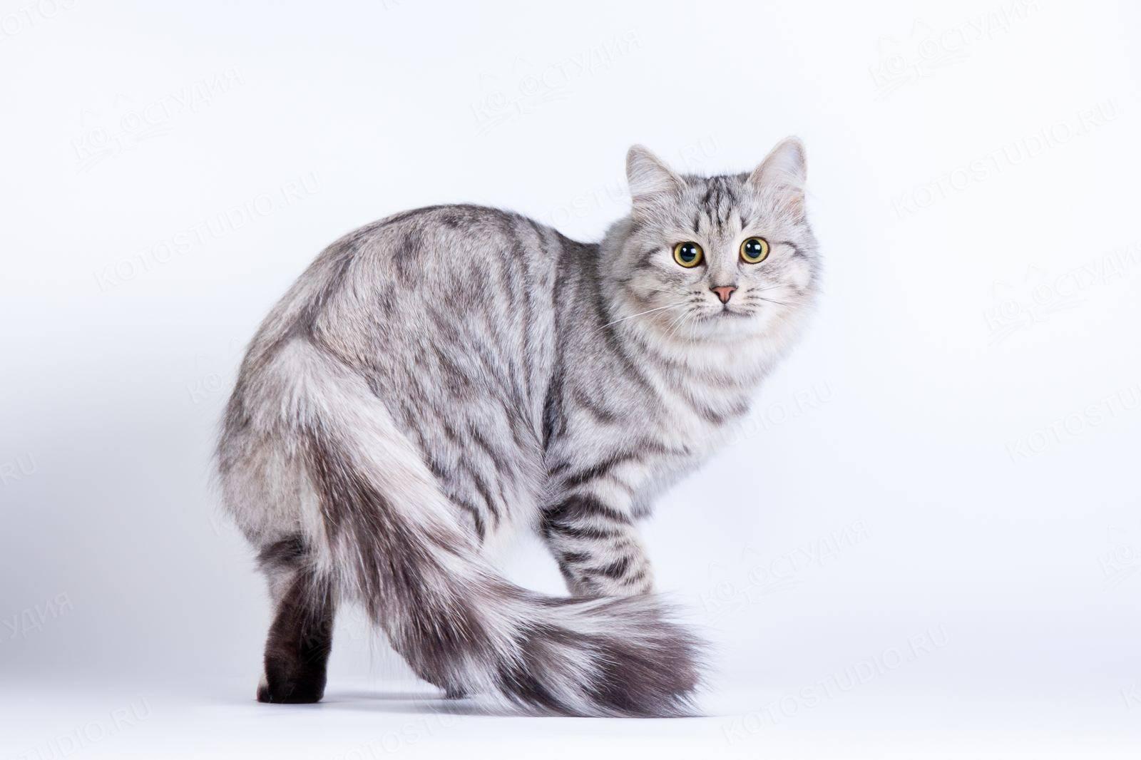 Необычные окрасы шотландских кошек: особенности расцветок для разных видов породы