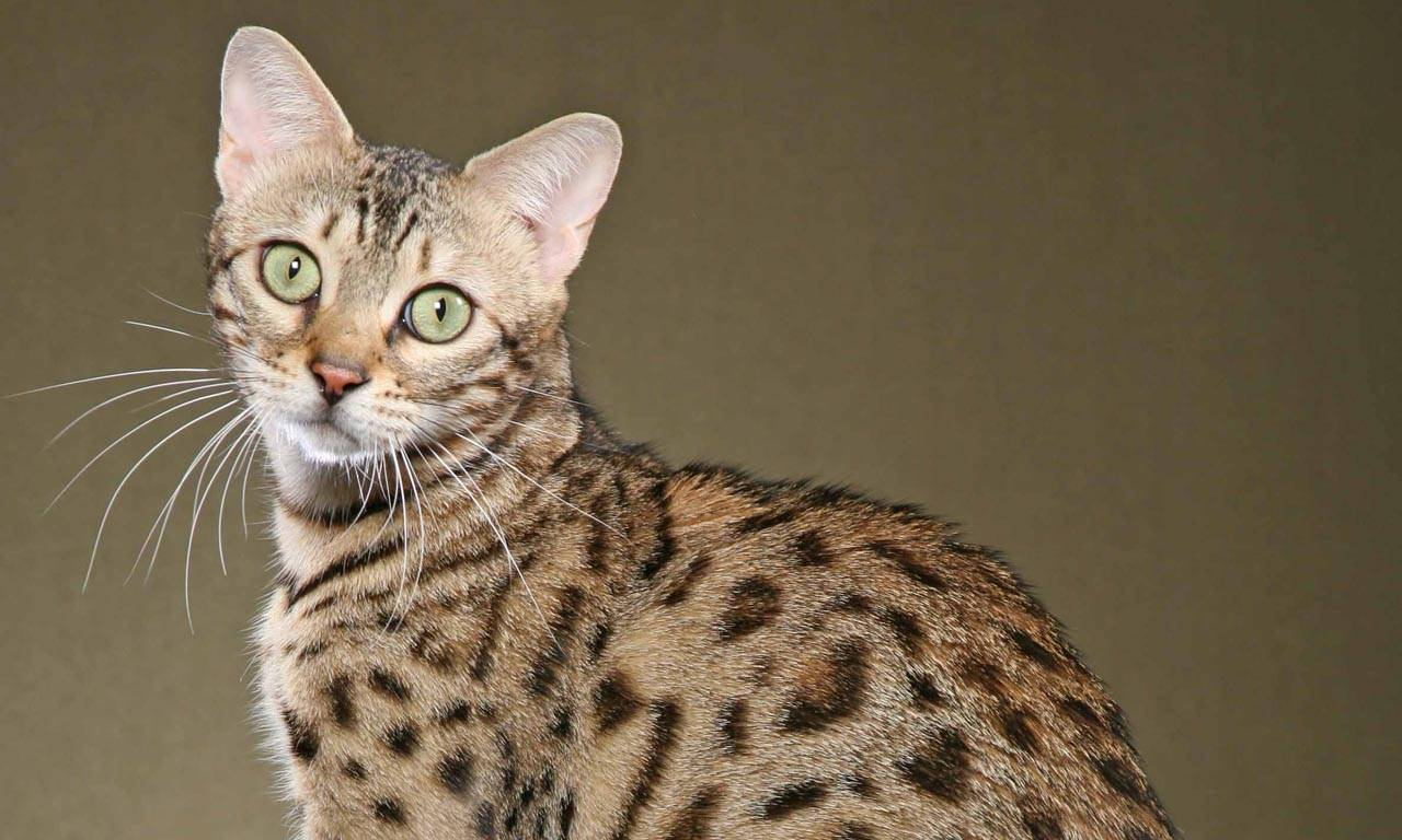 Самые дорогие кошки: топ-10   с фото и ценами