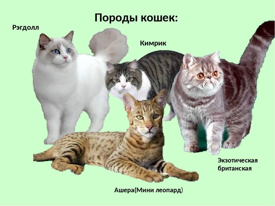 Описание и фото кошки кимрик