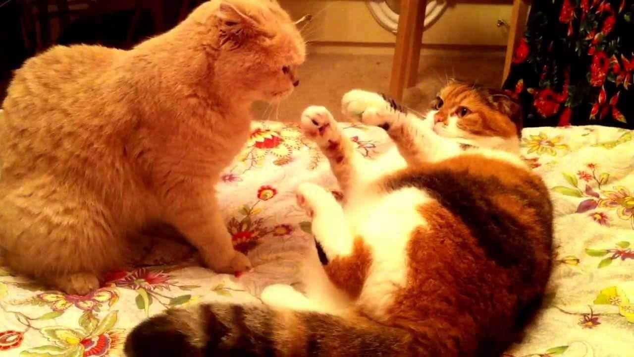 О совместном проживании двух кошек