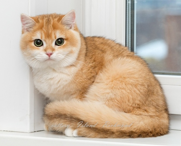 Как выглядит кошка породы золотистая шиншилла, фото, уход