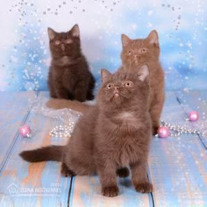 Британский котик....(брать ли взрослого кота)