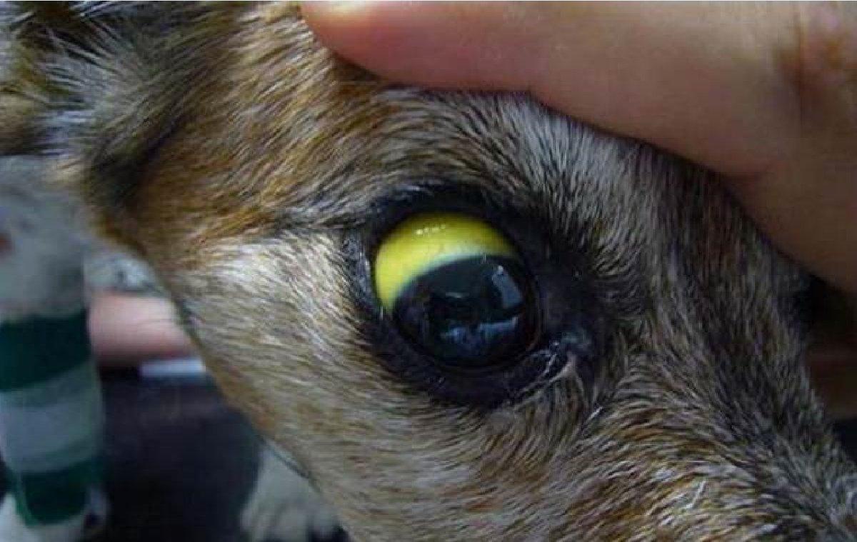 Симптомы болезней печени у кошек, лечение печеночных заболеваний в домашних условиях: препараты и диета