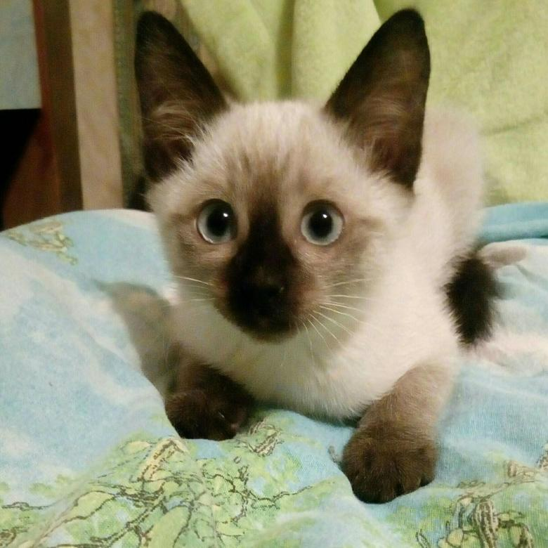 Стоимость сиамского котенка
