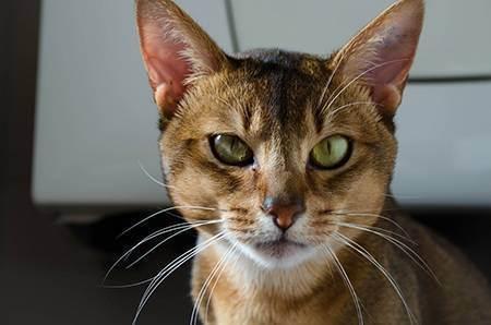 Кошка трясет головой и чешет уши - лечение