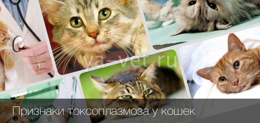 Симптомы токсоплазмоза у кошек, лечение и профилактика