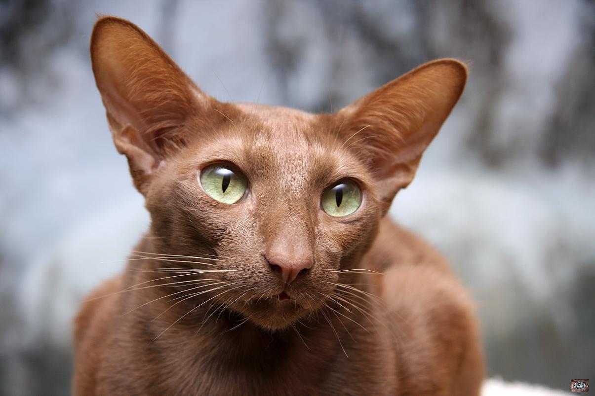 Экзотическая яванская кошка
