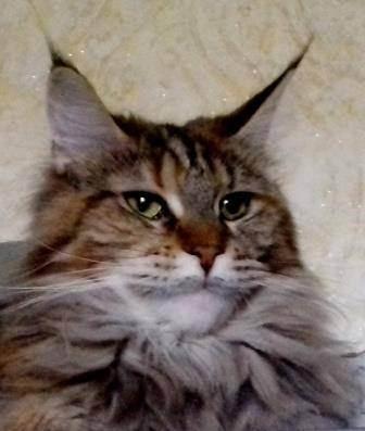 Почему похудел кот шотландец. вероятные причины, почему кошка худая, и действия хозяина по решению проблемы