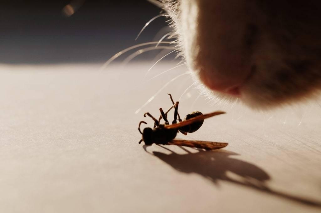 Помощь и экстренные меры при укусе кошки осой
