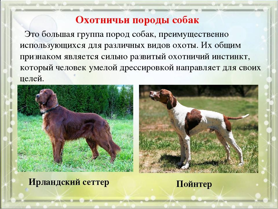 Охотничьи породы собак с фотографиями и названиями, подробный список с описанием