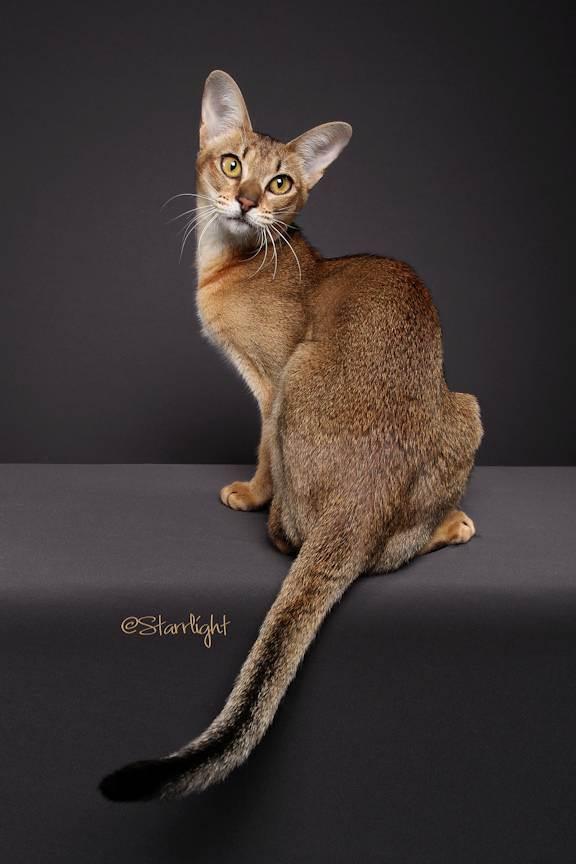Топ 10 самых дорогих кошек